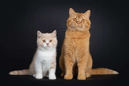Sweet creme with white British Shorthair cat kitten, sitting beside red adult. Looking with orange developping eyes to camera. isolated on a black background.