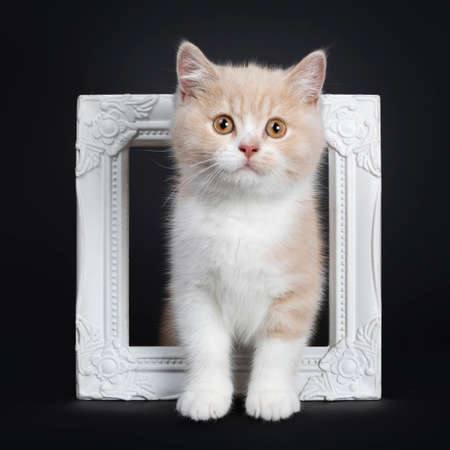 Sweet creme with white British Shorthair cat kitten, standing through white photo frame. Looking with orange developping eyes to camera. isolated on a black background.