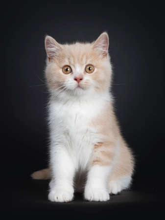 Sweet creme with white British Shorthair cat kitten, sitting facing front. Looking with orange developping eyes to camera. isolated on a black background. Stockfoto