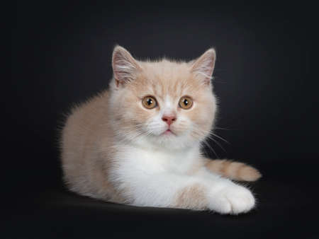 Sweet creme with white British Shorthair cat kitten, laying down side ways. Looking with orange developping eyes beside camera. isolated on a black background.