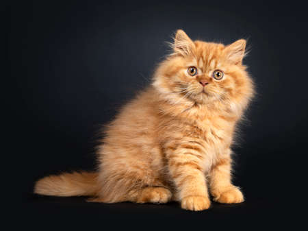 Fluffy red British Longhair cat kitten, sitting sideways. Looking at camera with orange eyes. Isolated on black background. Stockfoto