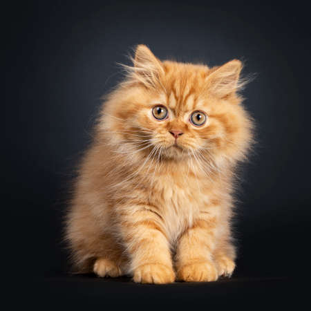 Fluffy red British Longhair cat kitten, sitting facing front. Looking curious at camera with orange eyes. Isolated on black background.