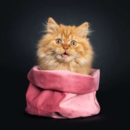 Fluffy red British Longhair cat kitten, sitting in pink velvet bag. Looking at camera with orange eyes. Isolated on black background. Mouth open, surprised  talking.