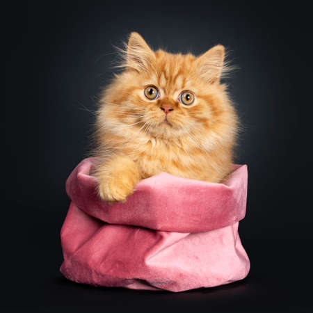 Fluffy red British Longhair cat kitten, sitting in pink velvet bag. Looking at camera with orange eyes. Isolated on black background. One paw on edge bag. Stockfoto