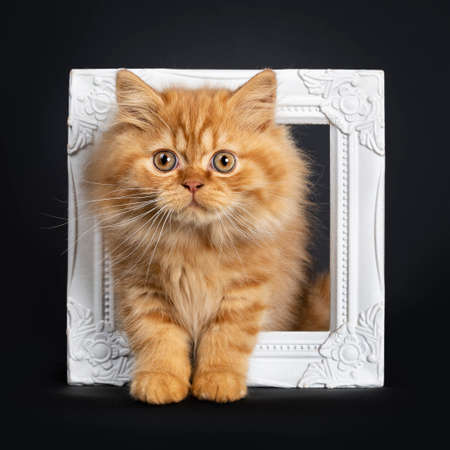 Fluffy red British Longhair cat kitten, standing through white photo frame. Looking at camera with orange eyes. Isolated on black background.