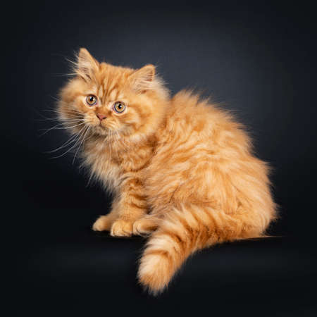 Fluffy red British Longhair cat kitten, sitting sideways. Looking beside camera with orange eyes. Isolated on black background. Tail hanging down from edge. Stockfoto