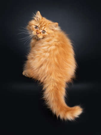 Fluffy red British Longhair cat kitten, sitting backwards. Looking at camera with orange eyes. Isolated on black background. Tail hanging down.