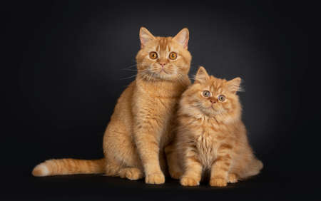Fluffy red British Longhair cat kitten, sitting beside red adult Shorthair. Looking at camera with orange eyes. Isolated on black background.