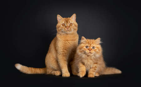 Fluffy red British Longhair cat kitten, sitting together with red adult Shorthair. Looking at camera with orange eyes. Isolated on black background.