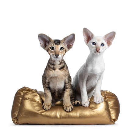 Siamese and Oriental Shorthair kitten, sitting together in gold color basket. Looking at lens with green  blue eyes. Isolated on a white background.