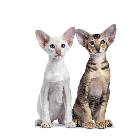 Siamese and Oriental Shorthair kitten, sitting together side by side. Looking at lens with green  blue eyes. Isolated on a white background.