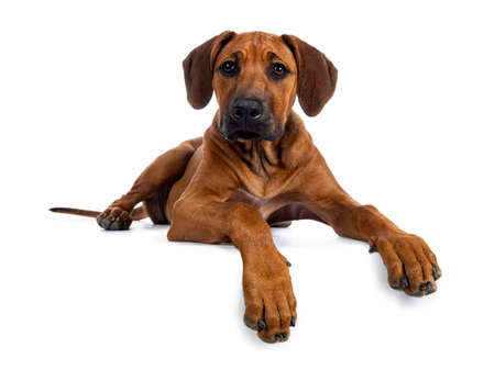Pretty Rhodesian Ridgeback pup laying down. Looking at lens with brown eyes. Isolated on white background.  Paws over edge.