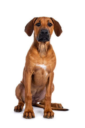 Pretty Rhodesian Ridgeback pup sitting straight up. Looking beside lens with brown eyes. Isolated on white background.