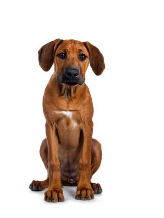 Pretty Rhodesian Ridgeback pup sitting straight up. Looking to lens with brown eyes and droopy face Isolated on white background.