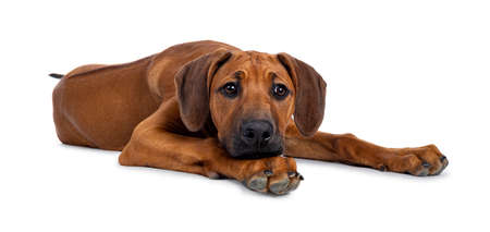 Pretty Rhodesian Ridgeback pup laying down. Looking beside lens with brown eyes. Isolated on white background. Head resting on paws.