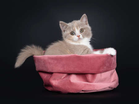 Sweet creme lilac with white British Shorthair cat kitten, sitting side ways in pink velvet bag. Looking at camera with greenish eyes. Isolated on black background. Tail hanging over edge of bag. Stok Fotoğraf