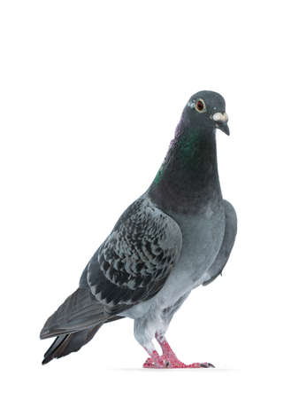 Young gray Racing Pigeon standing slightly side ways, looking at camera with orange  brown eye. Neck with pearl green and purple. Isolated on white background. Banco de Imagens