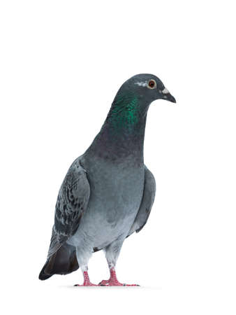 Young gray Racing Pigeon standing facing front, looking side ways with orange  brown eye. Neck with pearl green and purple. Isolated on white background. Banco de Imagens