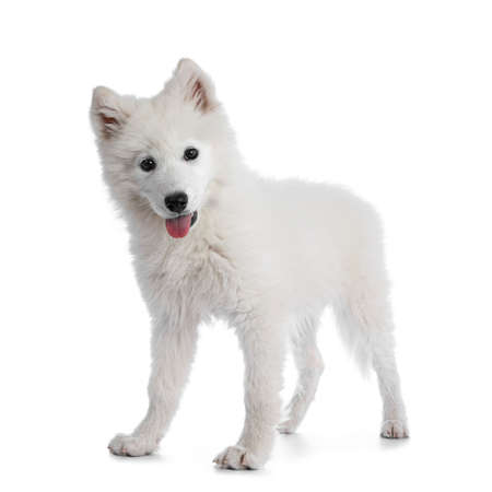 Cute white Samoyed dog puppy, standing side ways. Looking at camera with dark shiny eyes. Isolated on white background. Tongue out of mouth.