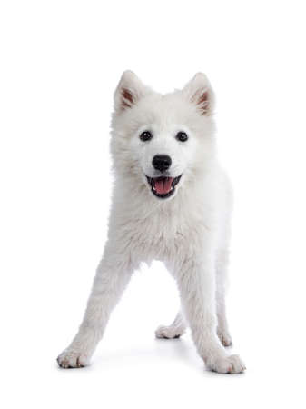 Cute white Samoyed dog puppy, standing playful facing front. Looking at camera with dark shiny eyes. Isolated on white background. Tongue out of mouth.