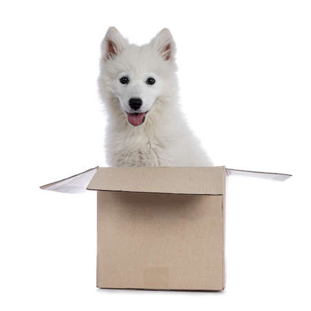 Cute white Samoyed dog puppy sitting in carton box facing front. Looking at camera with dark shiny eyes. Isolated on white background. Tongue out of mouth.