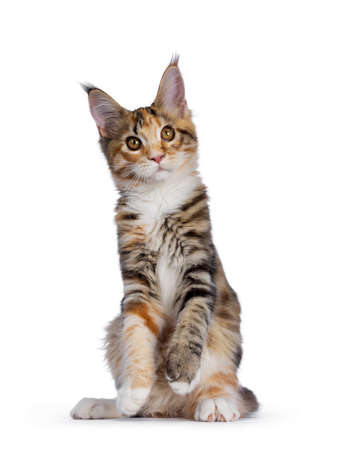 Warm toned cute torbie Maine Coon cat kitten, sitting facing front on hind paws. Looking beside camera with orange  golden eyes. Isolated on white background.