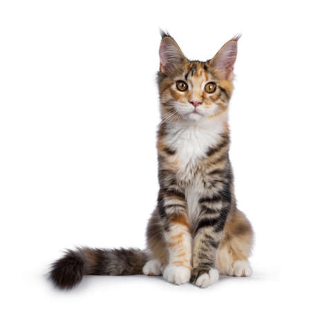 Warm toned cute torbie Maine Coon cat kitten, sitting facing front. Looking beside camera with orange  golden eyes. Isolated on white background. Tail beside body.