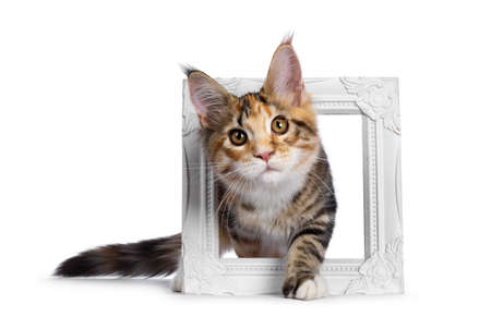 Warm toned cute torbie Maine Coon cat kitten,  stepping through photo frame. Looking beside camera with orange  golden eyes. Isolated on white background.