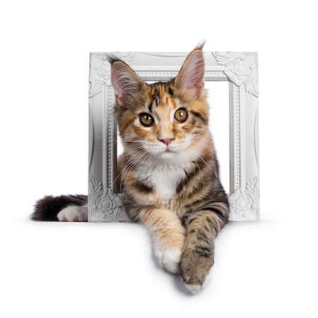 Warm toned cute torbie Maine Coon cat kitten,  laying through photo frame. Looking straight at camera with orange  golden eyes. Isolated on white background.