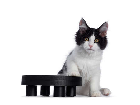 Cute black  white harlequin Maine Coon cat kitten, sitting beside black wooden plateau. Looking straight ahead with bright eyes. Isolated on white background. One paw on plateau.