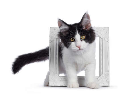 Cute black  white harlequin Maine Coon cat kitten, standing through white photo frame. Looking straight ahead with bright eyes. Isolated on white background.