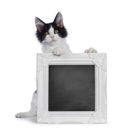 Cute black  white harlequin Maine Coon cat kitten, holding  standing behind blackboard filled photo frame on hind paws. Looking straight ahead with bright eyes. Isolated on white background. Stock fotó