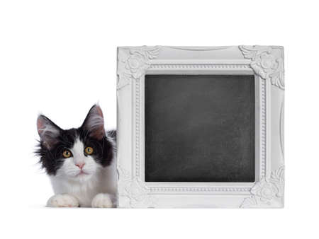Cute black / white harlequin Maine Coon cat kitten, holding / laying behind blackboard filled photo frame. Looking straight ahead with bright eyes. Isolated on white background. Banque d'images