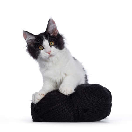 Cute black  white harlequin Maine Coon cat kitten, holding  standing behind black knot of wool. Looking straight ahead with bright eyes. Isolated on white background. Stock fotó