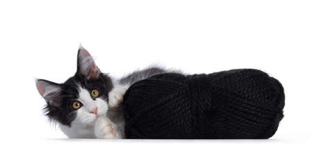 Cute black  white harlequin Maine Coon cat kitten, playing  laying beside black knot of wool. Looking straight ahead with bright eyes. Isolated on white background.