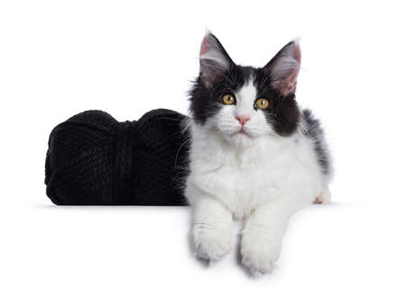 Cute black  white harlequin Maine Coon cat kitten, laying beside black knot of wool. Looking straight ahead with bright eyes. Isolated on white background.