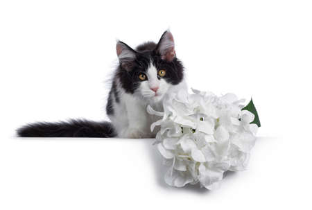 Cute black  white harlequin Maine Coon cat kitten, sitting behind fake white hortensia flower. Looking straight ahead with bright eyes. Isolated on white background.