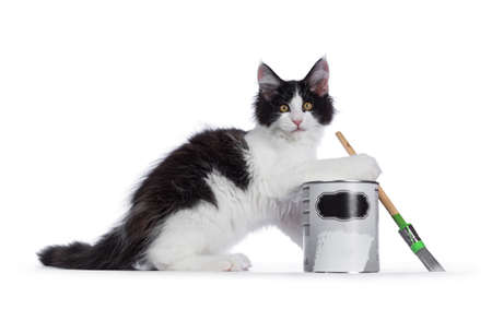 Cute black  white harlequin Maine Coon cat kitten, playing  lsitting side ways beside paint can. Looking straight ahead with bright eyes. Isolated on white background. Holding brush in one paw.