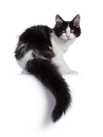 Cute black  white harlequin Maine Coon cat kitten, sitting backwards. Looking over shoulder straight to camera  with bright eyes. Isolated on white background. Stock fotó