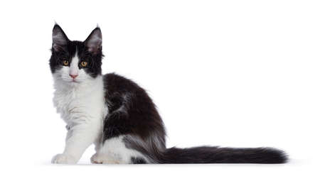 Cute black and white solid bicolor masked Maine Coon cat kitten, sitting side ways. Looking at camera with curious eyes. Isolated on white background.