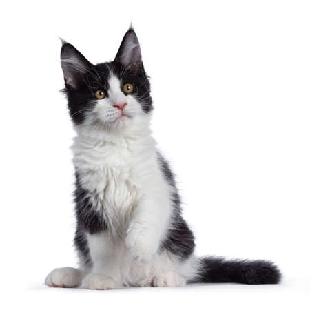 Cute black and white solid bicolor masked Maine Coon cat kitten, standing facing front. Looking side ways above camera with front paw in air. Isolated on white background.