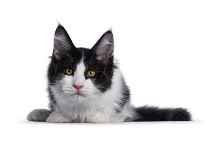 Cute black and white solid bicolor masked Maine Coon cat kitten, laying down facing front. Looking straight in lens with curious eyes. Isolated on white background.