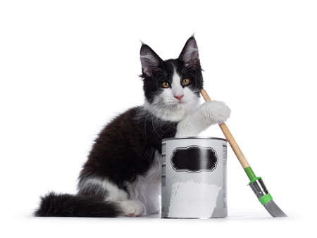 Cute black and white solid bicolor masked Maine Coon cat kitten, sitting side ways behind paint can and holding brush with front paw. Looking at camera with curious eyes. Isolated on white background.