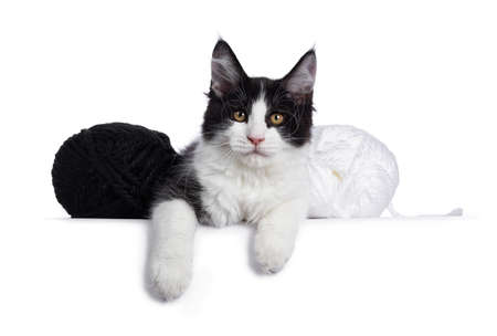 Cute black and white solid bicolor masked Maine Coon cat kitten, laying down facing front between wool knots. Looking straight in lens with curious eyes. Isolated on white background.