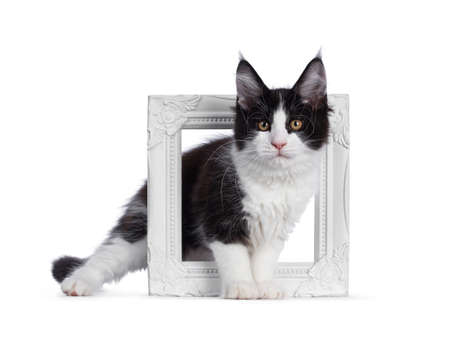 Cute black and white solid bicolor masked Maine Coon cat kitten, standing side ways through photo frame. Looking straight in lens with curious eyes. Isolated on white background.