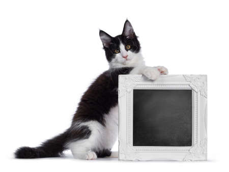 Cute black and white solid bicolor masked Maine Coon cat kitten, sitting on hind paws behind  holding chalk board filled frame. Looking straight in lens with curious eyes. Isolated on white background.