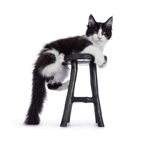 Cute black and white solid bicolor masked Maine Coon cat kitten, hanging side ways on wooden stool Looking straight in lens with curious eyes. Isolated on white background. Stock fotó