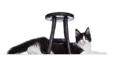 Cute black and white solid bicolor masked Maine Coon cat kitten, laying under black wooden stool. Looking straight in lens with curious eyes. Isolated on white background. Stock fotó
