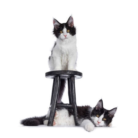 Funny couple of black and white mischief Maine Coon cat kittens, sitting on and laying under black wooden stool. Looking at camera with bralert eyes. Isolated on white background. Stock fotó