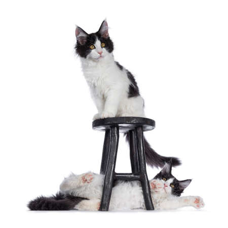 Funny couple of black and white mischief Maine Coon cat kittens, sitting on and laying under black wooden stool. Looking beside camera with bralert eyes. Isolated on white background.